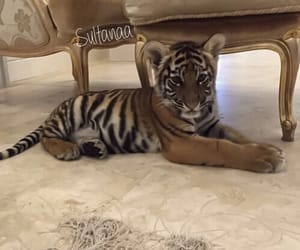 tiger, animal, and luxury image