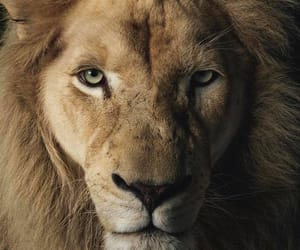 big cat, lion, and wild cat image