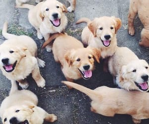 dogs, happy, and labradors image