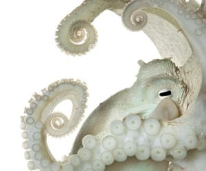 animals, ocean, and octopus image