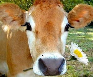 cow, flowers, and cute image
