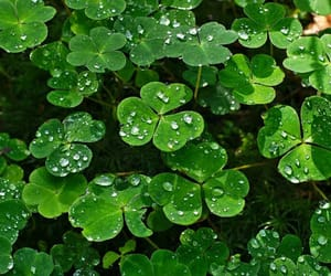 clover, clovers, and rain image