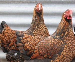 brown, Chicken, and farm image
