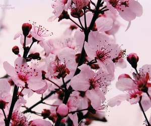aesthetic, cherry blossoms, and pink blossoms image