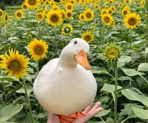 duck, animal, and sunflower image