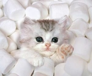 cat, cute, and marshmallow image