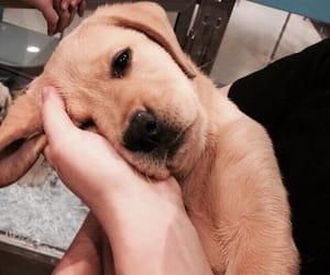 dog, cute, and labrador image