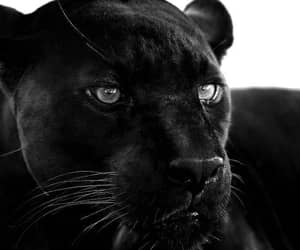 animal, black, and aesthetic image