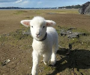animal, cute, and lamb image