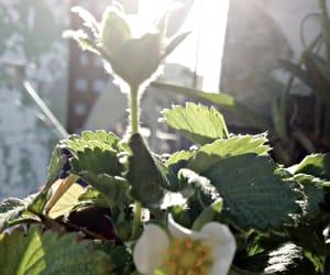 morango, morangos, and strawberry image