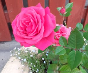 beautiful, flowers, and pink rose image