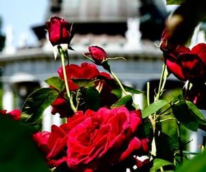 バラ, flower, and rosa image