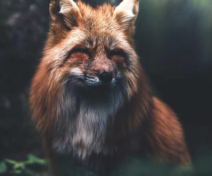 animals, bavaria, and fox image