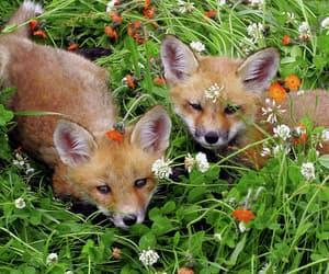 animal, fox, and flowers image