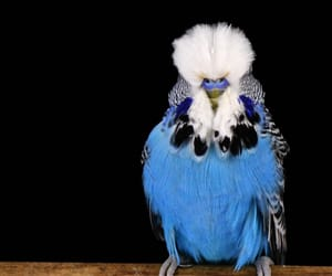 bird, budgerigar, and طيور image