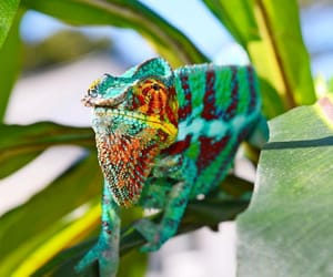 animals, chameleon, and reptiles image