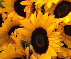 pretty, sunflowers, and yellow image