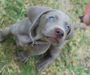 dog, puppy, and blue eyes image