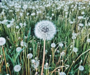 beautiful, dandelion, and flowers image