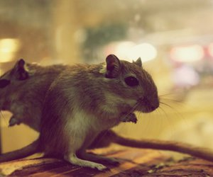 animal, rat, and cute image