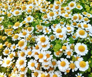beautiful, camomile, and chamomile image
