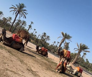 camel and morocco image