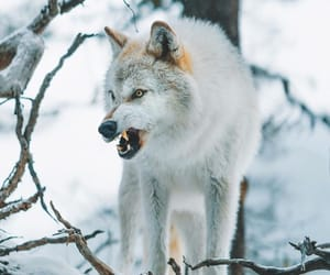 lobo, majestic, and wolf image