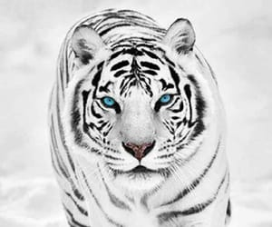 lovely, snow, and tiger image