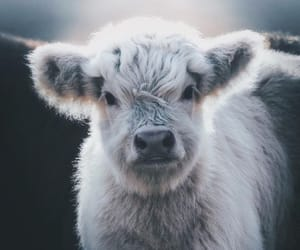 cow and animals image