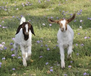 aesthetic, flowers, and goats image