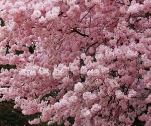 pink, blossom, and cherry blossom image
