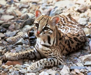 animal, ocelot, and cat image