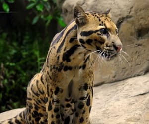 big cat, cat, and leopard image