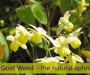 horny goat weed image