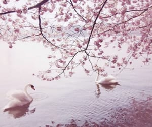 Swan, pink, and spring image
