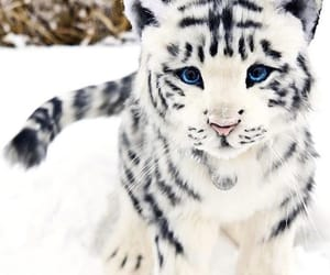 animal, cat, and white tiger image