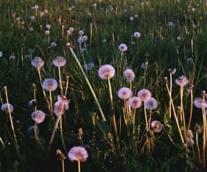 dandelion, flower, and meadow image