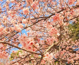 cherryblossom, flowers, and tokyo image