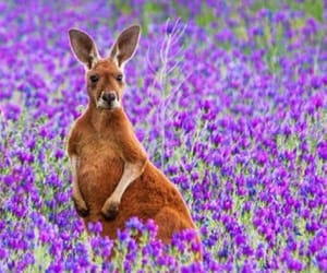 animal, kangaroo, and wildlife image