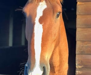 chestnut, equestrian, and equine image
