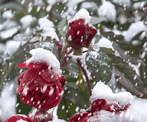 gif, snow, and roses image