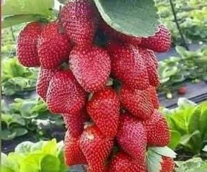 fruit and strawberry image