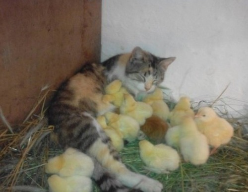 animals, cats, and chicks image