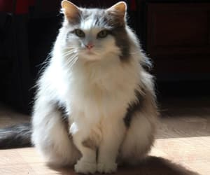 cat, shy, and fluffy cat image