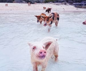 pig, water, and pig beach image