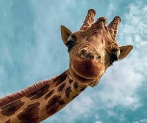 animal, sky, and giraffe image