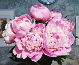 flowers, peonies, and peony image