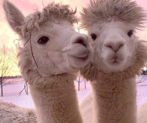alpaca, animals, and cute image