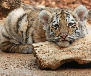 animals, tiger, and tiger cub image