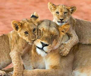 animals, lion, and nature image